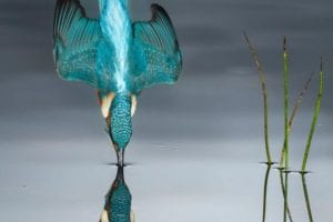 2016 Wildlife Photographer of the Year People's Choice Award winner: Mario Ceo's image of a kingfisher.